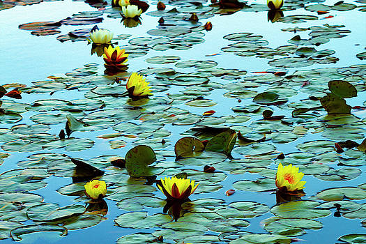 Yellow Water Lilies on Pond by Bonnie Follett
