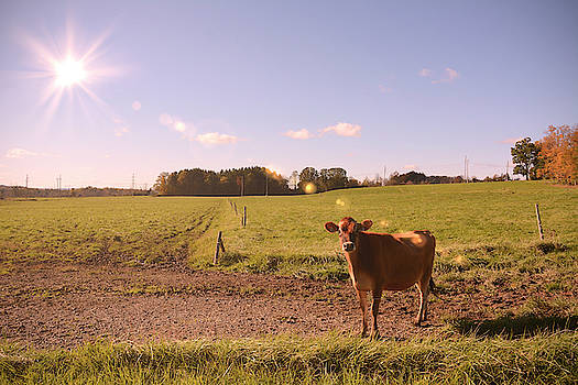 Young Cow in the Fields by Angie Tirado