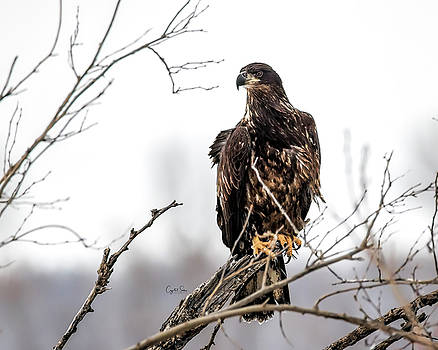 Young eagle keeping watch by Crystal Socha