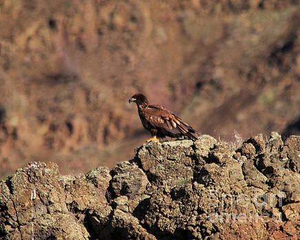 Young eagle perched on a rocky ledge   by Jeff Swan