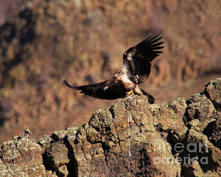 Young eagle takes off by Jeff Swan