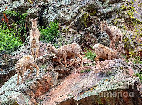 Young Herd of Bighorn Sheep at Play by Steve Krull