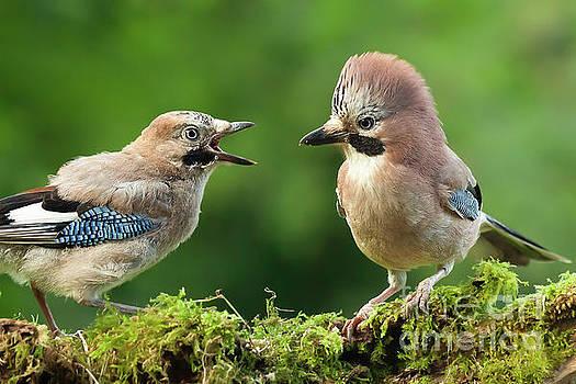 Simon Bratt Photography LRPS - Young jay bird with parent close up