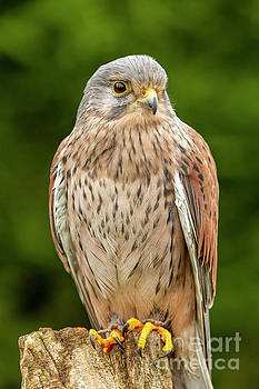 Simon Bratt Photography LRPS - Young kestrel sat close up