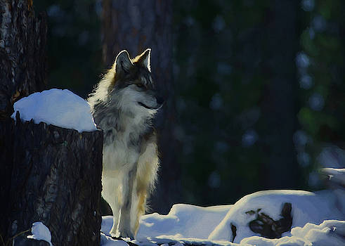 Young Mexican Grey Wolf by Ernie Echols