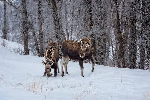 Young Moose in Snow by Barbara Hayton