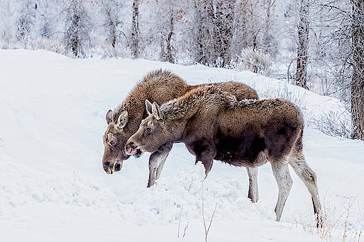 Young Moose Twins by Barbara Hayton