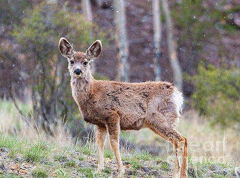 Steve Krull - Young Mule Deer on a Snowy Morning
