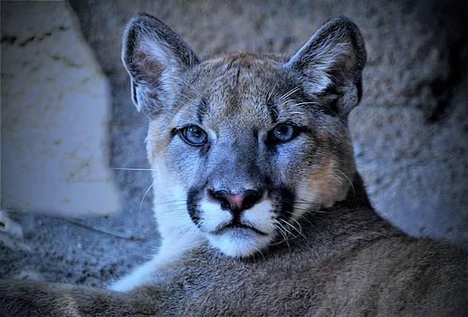 Young Puma by Savannah Gibbs