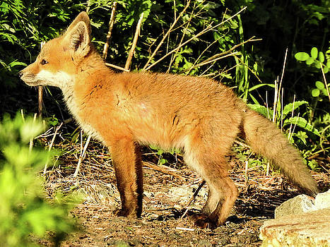 Young Red Fox by Kathy Gail