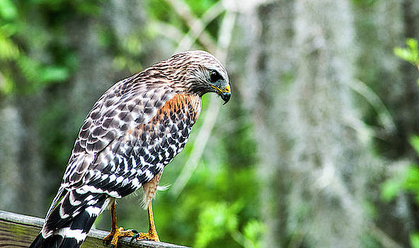 Young Red-Shouldered Hawk by Norman Johnson