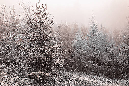 Young Spruce Trees In Misty Woods by Jenny Rainbow 1 by Jenny Rainbow