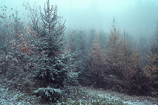 Young Spruce Trees in Misty Woods by Jenny Rainbow