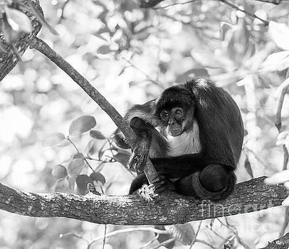 Tim Hester - Yucatan Spider Monkey Black and White