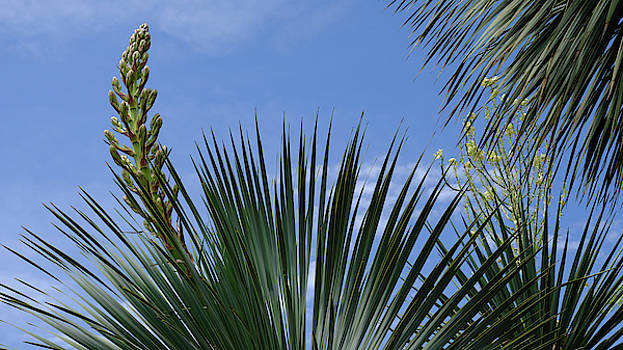 Yucca Pride by August Timmermans
