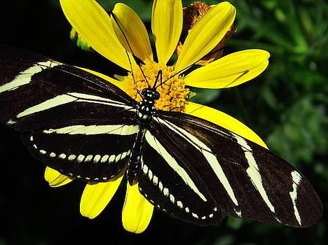 Zebra Butterfly on Yellow  by Lori Frisch
