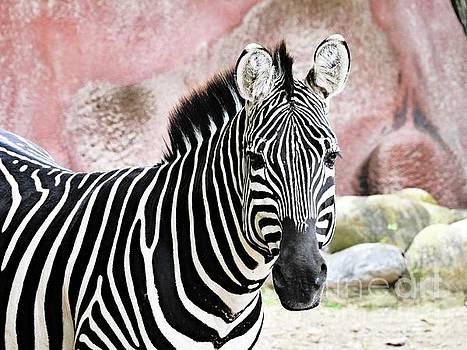 Zebra by Gary Richards