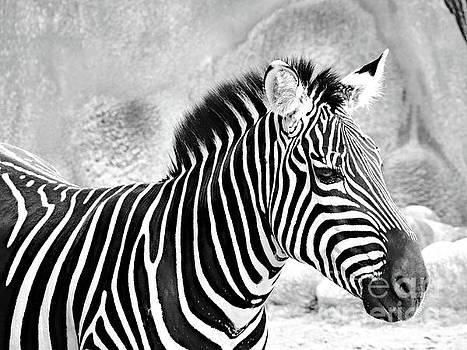 Zebra II Black and White by Gary Richards