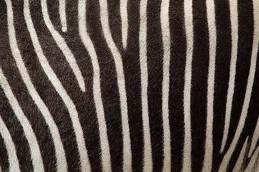 Zebra by Uzuri