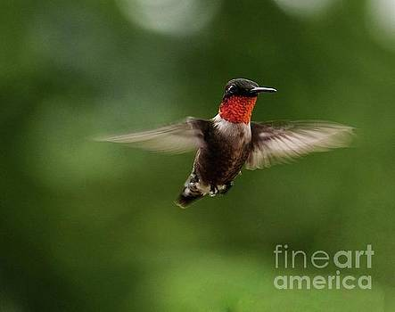 Zoom Zoom Ruby-throated Hummingbird by Cindy Treger