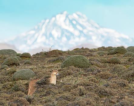 Max Waugh - Puma in Patagonia