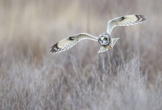 Max Waugh - Banking Short-Eared Owl