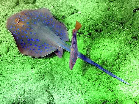 Johanna Hurmerinta - Blue Spotted Stingray And Checkerboard Wrasse