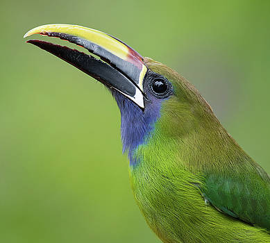 Max Waugh - Blue-Throated Toucanet