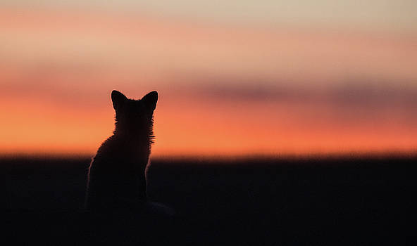 Max Waugh - Fox Kit Sunset 2
