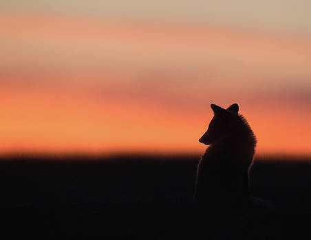 Max Waugh - Fox Kit Sunset