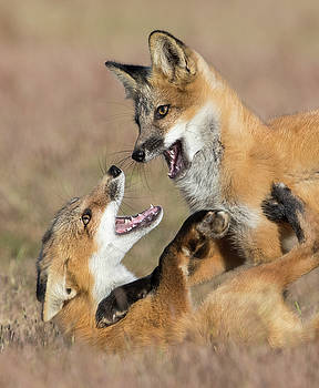Max Waugh - Fox Kits at Play