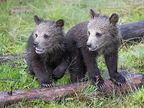 Max Waugh - Grizzly Bear Cubs