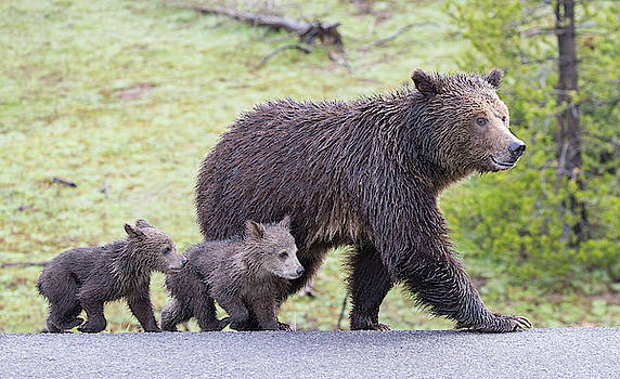 Max Waugh - Grizzly Bear Family Crossing Road