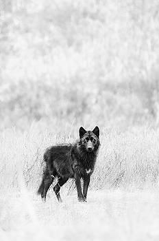 Max Waugh - Lamar Wolf Monochrome 2