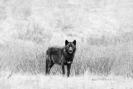 Max Waugh - Lamar Wolf Monochrome