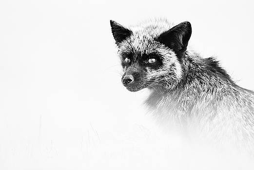 Max Waugh - Monochrome Silver Fox