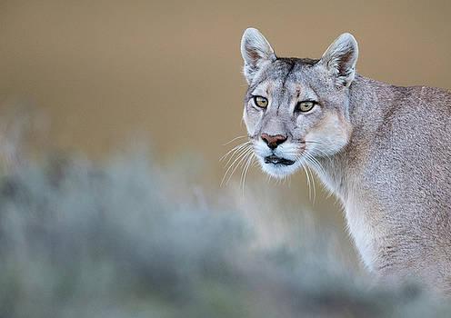 Max Waugh - Mother Puma