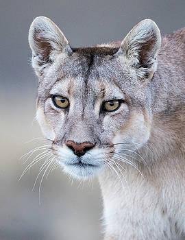 Max Waugh - Mother Puma Portrait