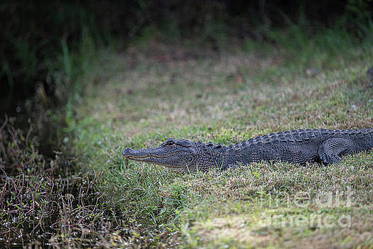 Dale Powell - Patiently Waiting - American Alligator