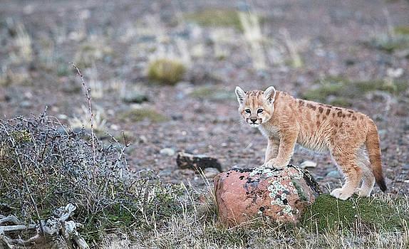 Max Waugh - Perched Puma Cub