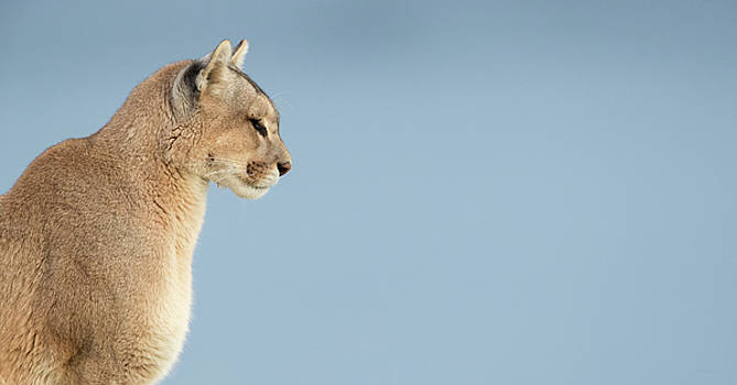 Max Waugh - Puma Profile Pano