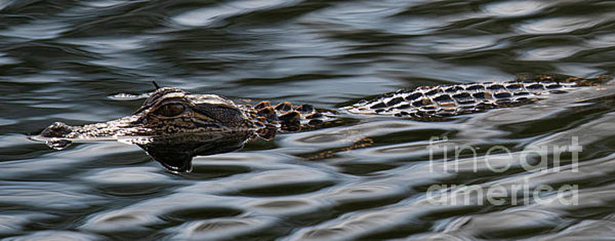 Dale Powell - Stealth Mode - Baby Alligator