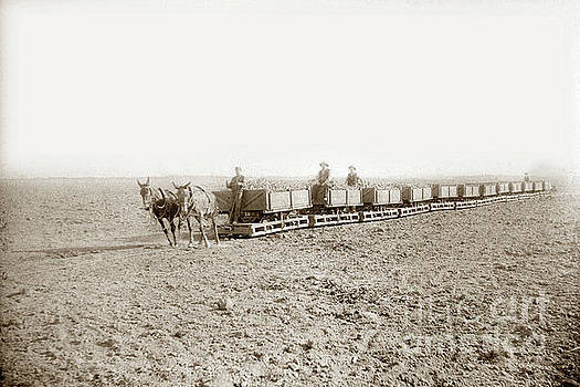 California Views Archives Mr Pat Hathaway Archives - Mules pull loaded sugar beet cars along a portable track  Train