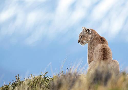Max Waugh - Watchful Puma