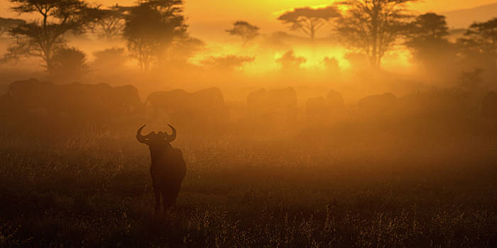 Max Waugh - Wildebeest Herd at Dawn