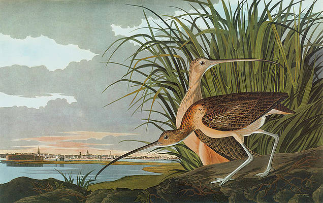 Charleston Harbor Painting - Audubon Curlew by Granger