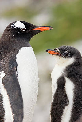 Animal Poster GENTOO PENGUIN COLONY Photo Poster Print Art * All Sizes 3367