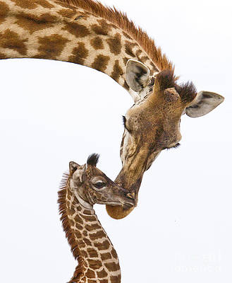 Original Tender Portrait of Giraffe Mother and Baby Nuzzle