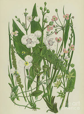 Wild Flower Drawing - Common Star Fruit, Greater Water Plantain and other plants by English School