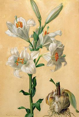 Реалистичный рисунок цветка - Белая лилия от Карла Франца Грубера